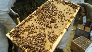 Propolis a gift from mother nature